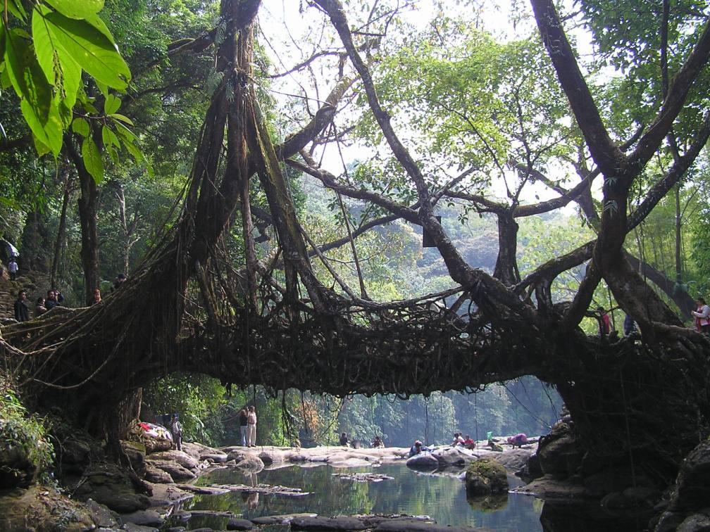 Living Root Bridge(Shillong,India)