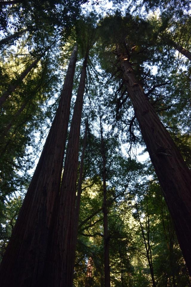Red Wood trees, Muir Woods, San Francisco