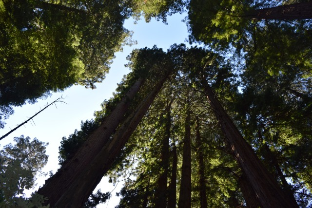 tall trees with thick canopy