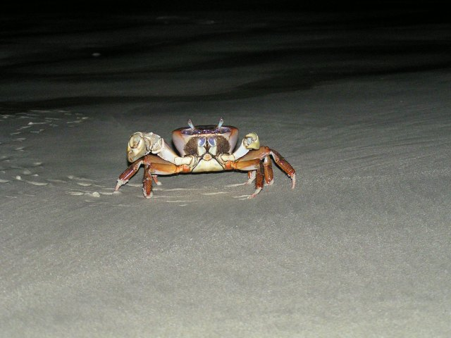 Mr Crab on the beach at Andamans