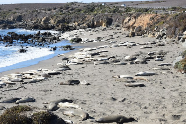 Huge Elephant Seals lazing on the beach